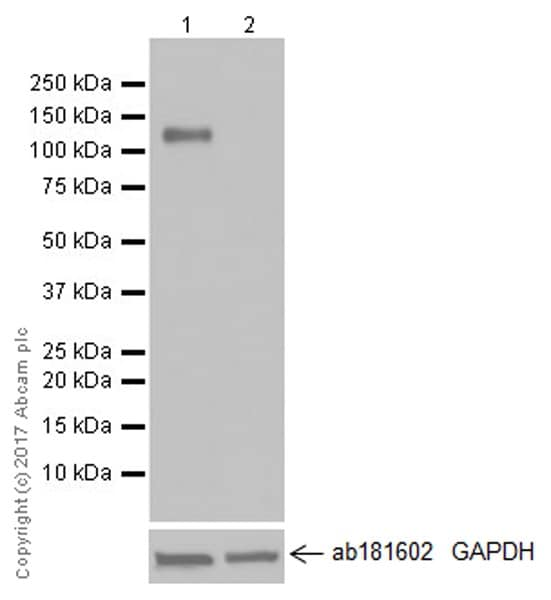Western blot - Anti-CD133 antibody [EPR20980-104] (ab216323)