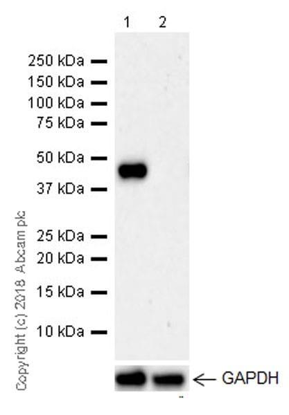 Western blot - Anti-LINE-1 ORF1p antibody [EPR21844-108] (ab216324)