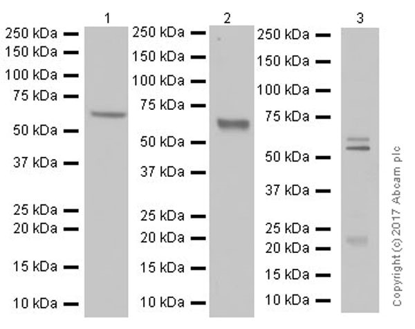 Western blot - Anti-Occludin antibody [EPR20992] (ab216327)