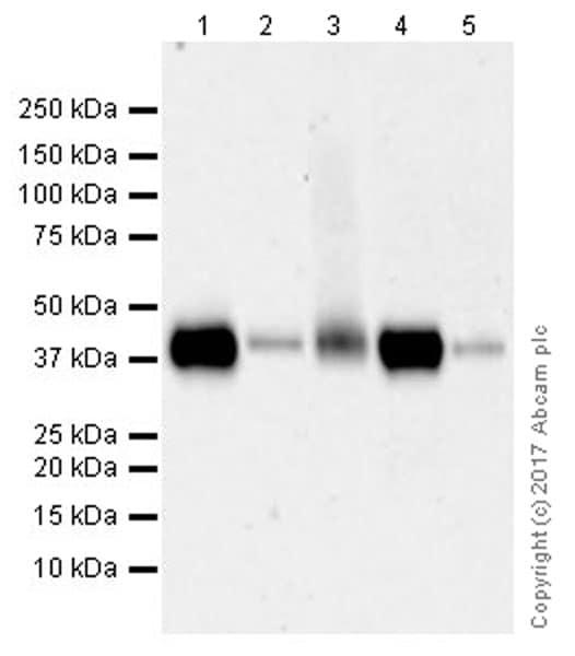 Western blot - Anti-CD38 antibody [EPR21079] (ab216343)