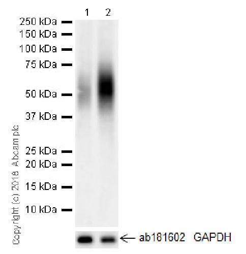 Western blot - Anti-PD1 antibody [NAT105-EPR21106] - Chimeric (ab216352)