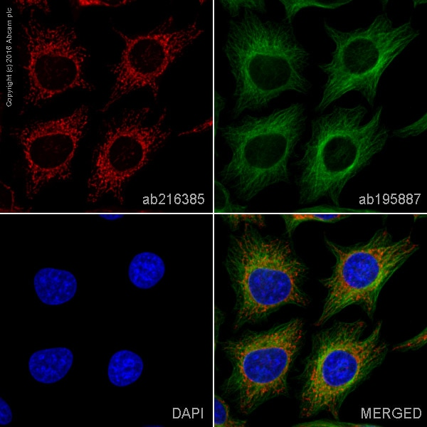 Immunocytochemistry/ Immunofluorescence - Alexa Fluor® 594 Anti-ATP5A antibody [EPR13030(B)] (ab216385)