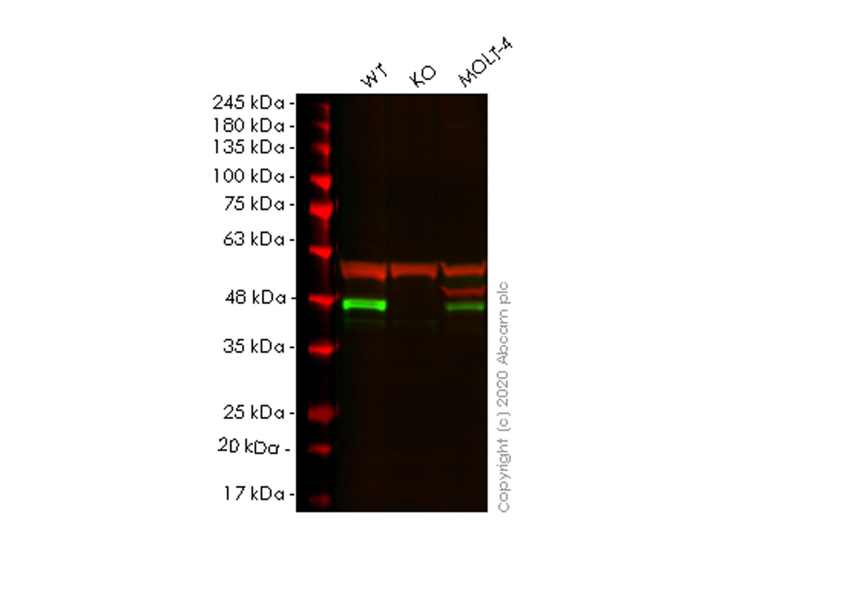 Western blot - Anti-Bmi1 antibody [EPR3745(2)] - BSA and Azide free (ab216444)
