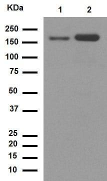 Western blot - Anti-CD11b antibody [EPR1344] - Low endotoxin, Azide free (ab216445)