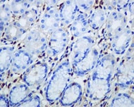 Immunohistochemistry (Formalin/PFA-fixed paraffin-embedded sections) - Anti-Human IgG antibody [EPR4421] - Low endotoxin, Azide free (ab216446)
