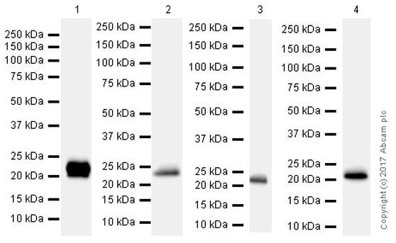Western blot - Anti-Lipocalin-2 / NGAL antibody [EPR21092] (ab216462)
