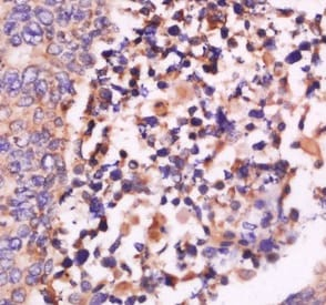 Immunohistochemistry (Formalin/PFA-fixed paraffin-embedded sections) - Anti-Interferon beta antibody (ab216475)