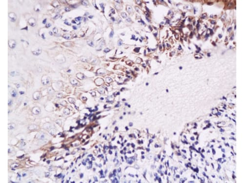 Immunohistochemistry (Formalin/PFA-fixed paraffin-embedded sections) - Anti-IL-6 antibody (ab216492)