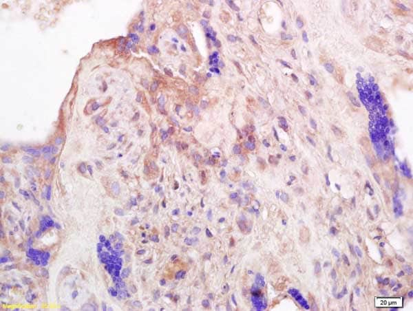 Immunohistochemistry (Formalin/PFA-fixed paraffin-embedded sections) - Anti-Prolactin/PRL antibody (ab216501)