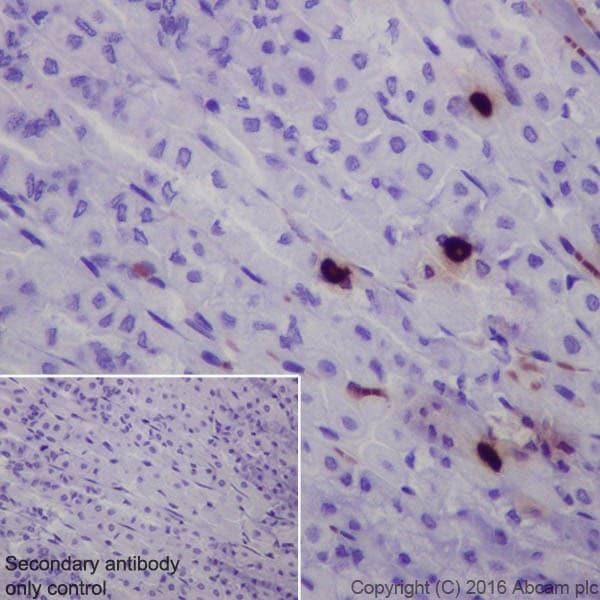 Immunohistochemistry (Formalin/PFA-fixed paraffin-embedded sections) - Anti-Obestatin antibody [EPR19972] (ab216575)