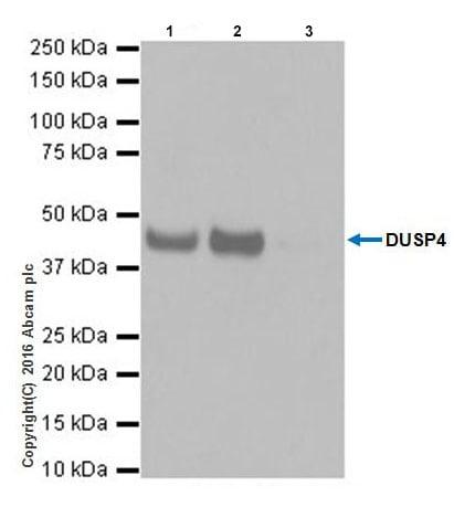 Immunoprecipitation - Anti-DUSP4 antibody [EPR19881] (ab216576)