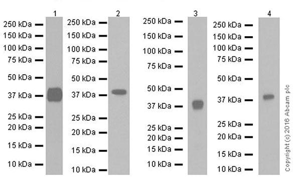 Western blot - Anti-DUSP4 antibody [EPR19881] (ab216576)