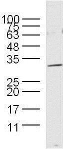 Western blot - Anti-Myelin Basic Protein antibody (ab216590)