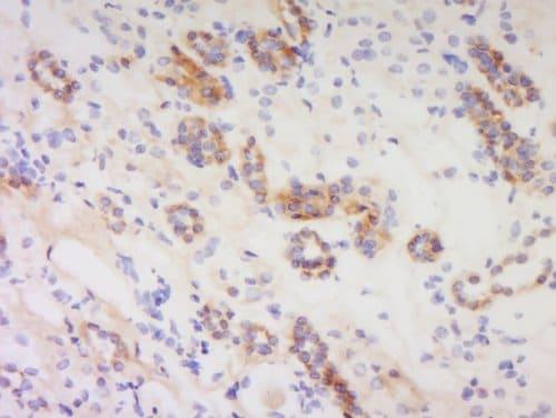 Immunohistochemistry (Formalin/PFA-fixed paraffin-embedded sections) - Anti-PACAP antibody (ab216627)