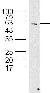 Western blot - Anti-Hsp60 antibody (ab216634)