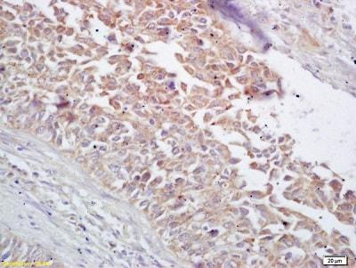 Immunohistochemistry (Formalin/PFA-fixed paraffin-embedded sections) - Anti-Hsp60 antibody (ab216634)