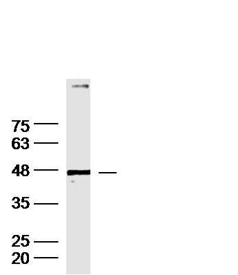 Western blot - Anti-Dopamine Receptor D1 antibody (ab216644)