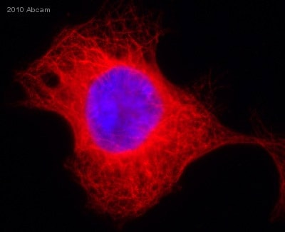 Immunocytochemistry/ Immunofluorescence - Anti-alpha Tubulin antibody [EP1332Y] - BSA and Azide free (ab216650)