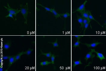 Immunocytochemistry/ Immunofluorescence - Anti-Paxillin antibody [Y113] - BSA and Azide free (ab216652)