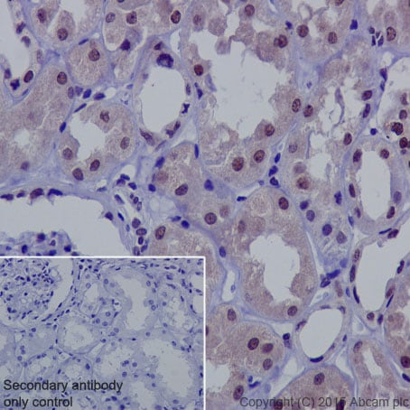 Immunohistochemistry (Formalin/PFA-fixed paraffin-embedded sections) - Anti-NADPH oxidase 4 antibody [UOTR1B493] - BSA and Azide free (ab216654)