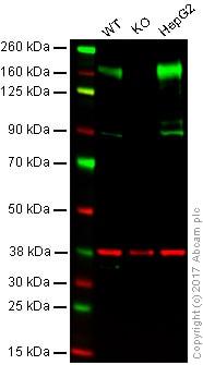 Western blot - Anti-P Glycoprotein antibody [EPR10364-57] - BSA and Azide free (ab216656)