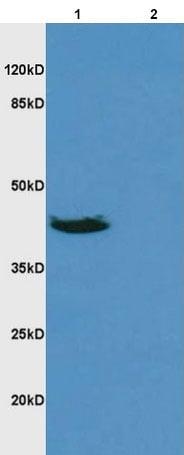 Western blot - Anti-DR3/LARD antibody (ab216658)