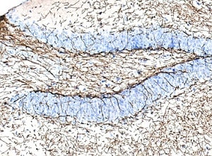Immunohistochemistry (Formalin/PFA-fixed paraffin-embedded sections) - Anti-Myelin Basic Protein antibody [IGX3421R-1] (ab216668)