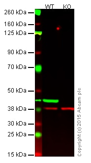 Western blot - Goat anti-Mouse IgG H&L (IRDye® 800CW) preadsorbed (ab216772)