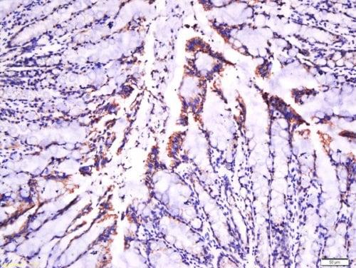 Immunohistochemistry (Formalin/PFA-fixed paraffin-embedded sections) - Anti-Laminin beta 1 antibody (ab216830)