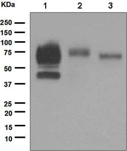 Western blot - Anti-CD64 antibody [EPR4624] - BSA and Azide free (ab216857)