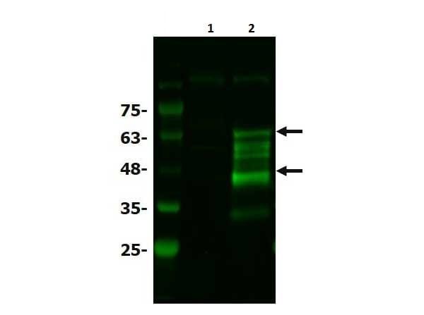 Western blot - Anti-Bcl3 antibody (ab216877)