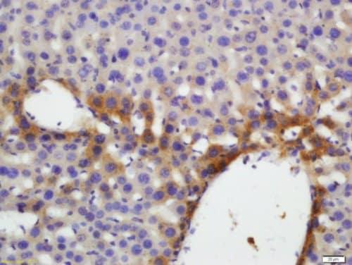 Immunohistochemistry (Formalin/PFA-fixed paraffin-embedded sections) - Anti-Thrombopoietin antibody (ab216884)