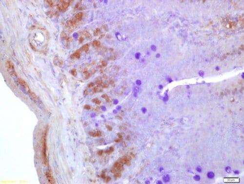Immunohistochemistry (Formalin/PFA-fixed paraffin-embedded sections) - Anti-Neurogenin3/NGN-3 antibody (ab216885)