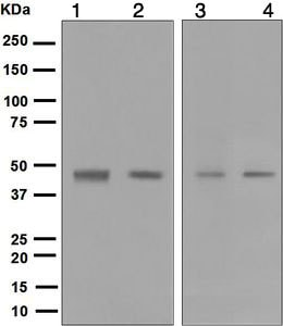 Western blot - Anti-Dux4 antibody [E5-5] - BSA and Azide free (ab216893)