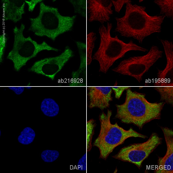Immunocytochemistry/ Immunofluorescence - Anti-G3BP antibody [EPR13985(B)] (Alexa Fluor® 488) (ab216928)