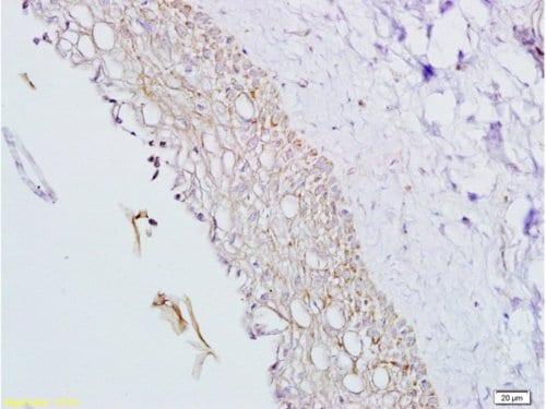 Immunohistochemistry (Formalin/PFA-fixed paraffin-embedded sections) - Anti-Inhibin alpha antibody (ab216969)