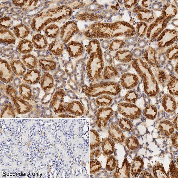 Immunohistochemistry (Formalin/PFA-fixed paraffin-embedded sections) - Anti-Bax antibody [E63] - BSA and Azide free (ab216985)