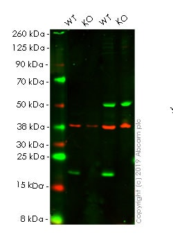 Western blot - Anti-Bax antibody [E63] - BSA and Azide free (ab216985)