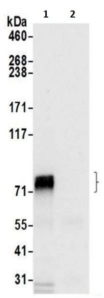 Immunoprecipitation - Anti-HBS1L antibody (ab217067)