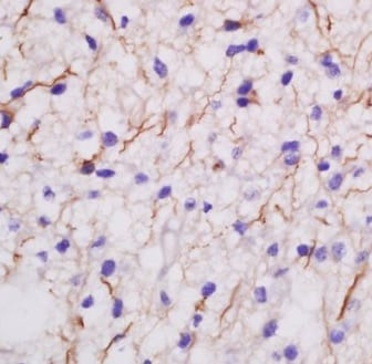Immunohistochemistry (Formalin/PFA-fixed paraffin-embedded sections) - Anti-MDGA2 antibody (ab217135)