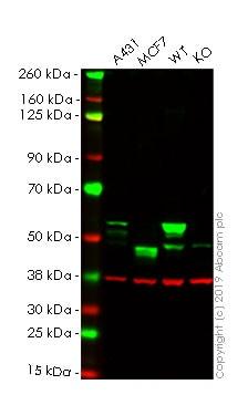 Western blot - Anti-Cytokeratin 8 antibody [EP1628Y] - BSA and Azide free (ab217173)