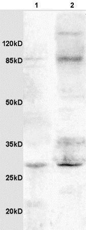 Western blot - Anti-IGFBP3 antibody (ab217205)