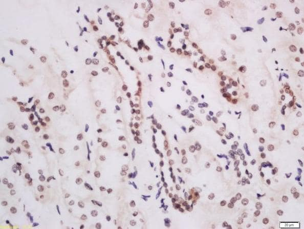 Immunohistochemistry (Formalin/PFA-fixed paraffin-embedded sections) - Anti-KMT4 / Dot1L antibody (ab217296)