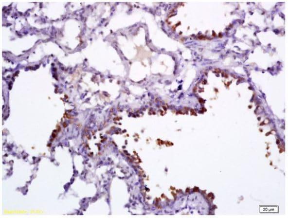 Immunohistochemistry (Formalin/PFA-fixed paraffin-embedded sections) - Anti-Uteroglobin antibody (ab217304)