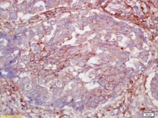Immunohistochemistry (Formalin/PFA-fixed paraffin-embedded sections) - Anti-Claudin 5 antibody (ab217316)