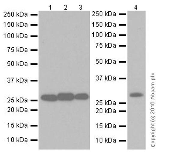 Western blot - Anti-SIRT3 antibody [EPR19755] (ab217319)