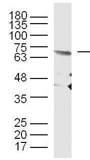 Western blot - Anti-Elastin antibody (ab217356)