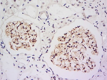 Immunohistochemistry (Formalin/PFA-fixed paraffin-embedded sections) - Anti-IRF2BP2 antibody (ab217361)