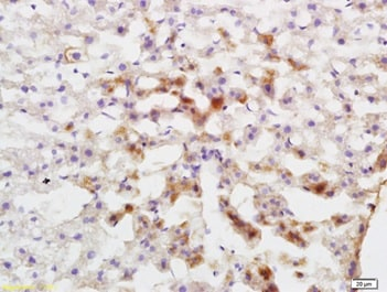 Immunohistochemistry (Formalin/PFA-fixed paraffin-embedded sections) - Anti-Cytochrome P450 1A2 antibody (ab217377)