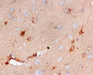 Immunohistochemistry (Formalin/PFA-fixed paraffin-embedded sections) - Anti-Cystatin C antibody [EPR4413] - BSA and Azide free (ab217569)